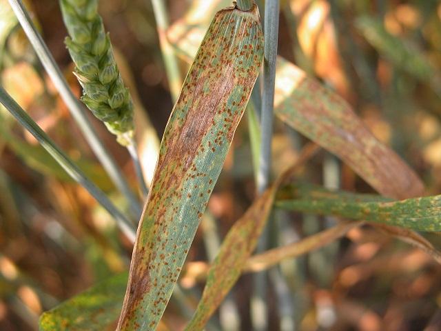 Figure 2.  Wheat leaf rust.  Photo Credit: Craig Grau.