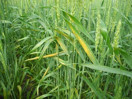 Figure 2.  Wheat leaves with mature strip rust pustules.  Photo Credit: Damon Smith